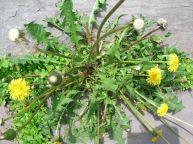 dandelion-weeds-by-aaron13251